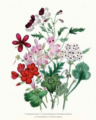 Geranium, Anemone-leaved; Three-coloured Pelargonium